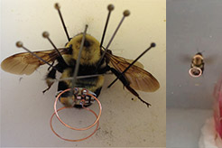 Image of a bee with sensors on it