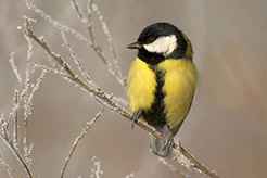 Picture of a yellow and black bird
