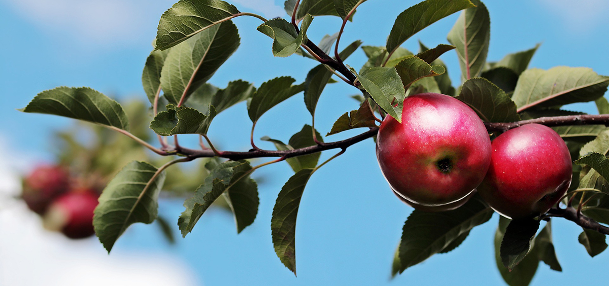 Photo of apples on an apple tree branch