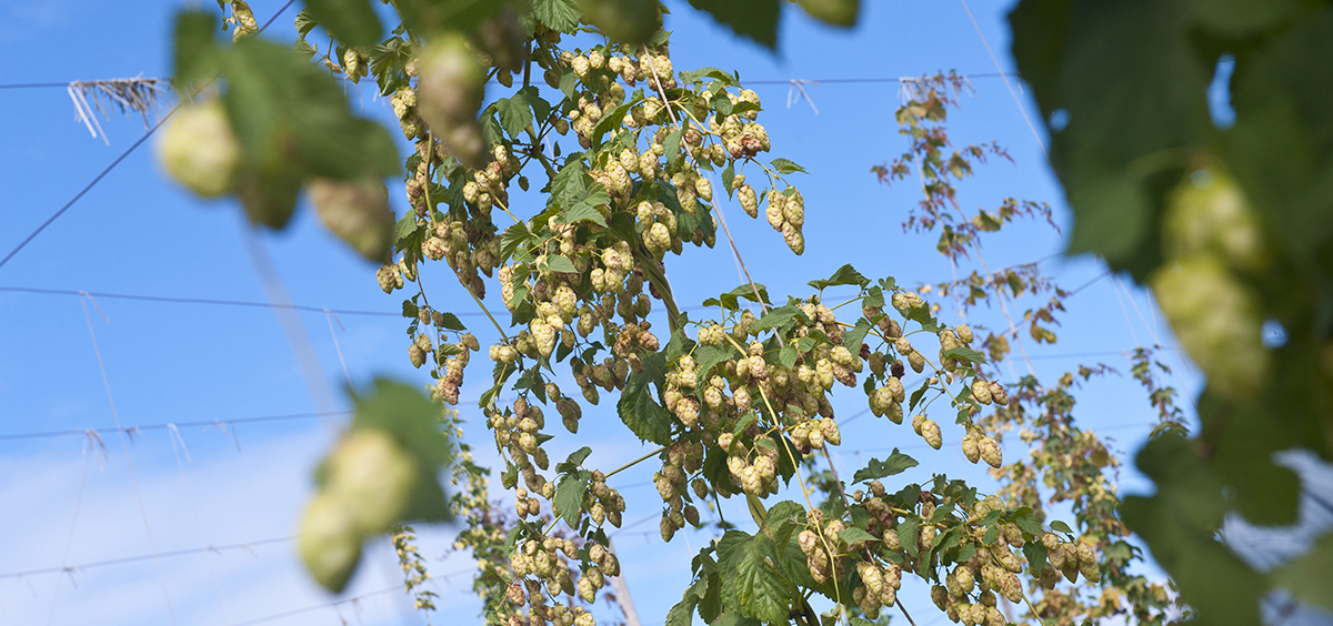 Picture of hop vines
